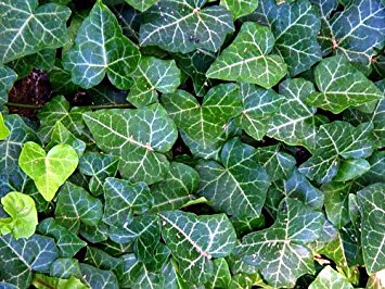 English Ivy Ground Cover