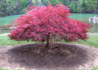 Laceleaf Japanese Maple