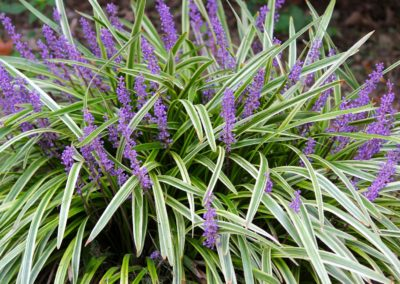 Liriopi Grass