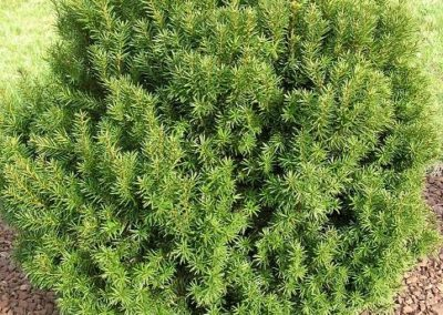 Taxus (Yew)